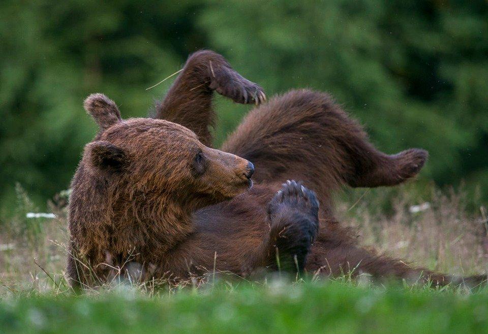 observator ursi transilvania