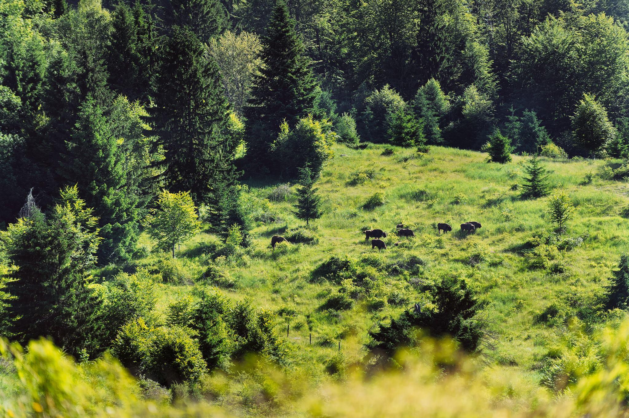 Pe urmele zimbrilor, în Banatul Montan